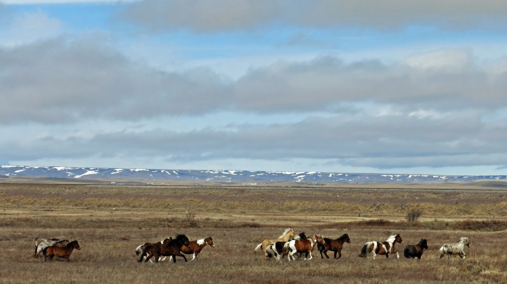 Our first glance of wild horses on the plains. We'd later spot a pair of Pronghorn.
