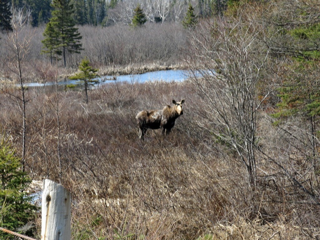 Doug grabbed this photo of a moose while biking to the campground outside of Wawa, ON.