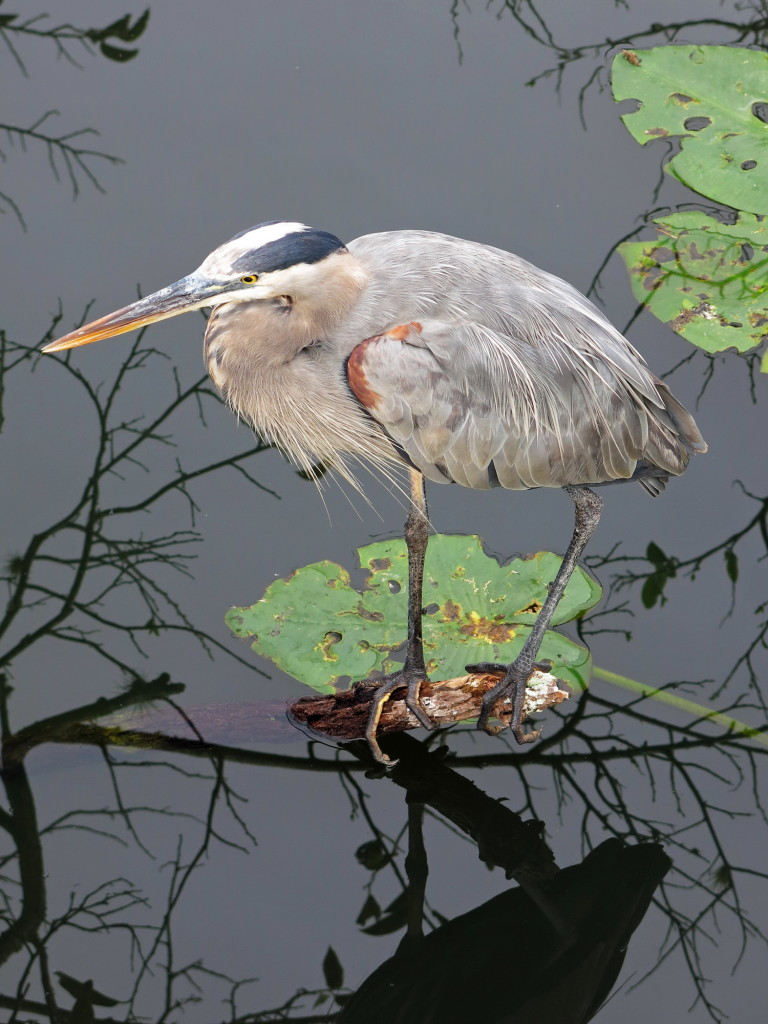 This heron sat completely motionless for a long while.