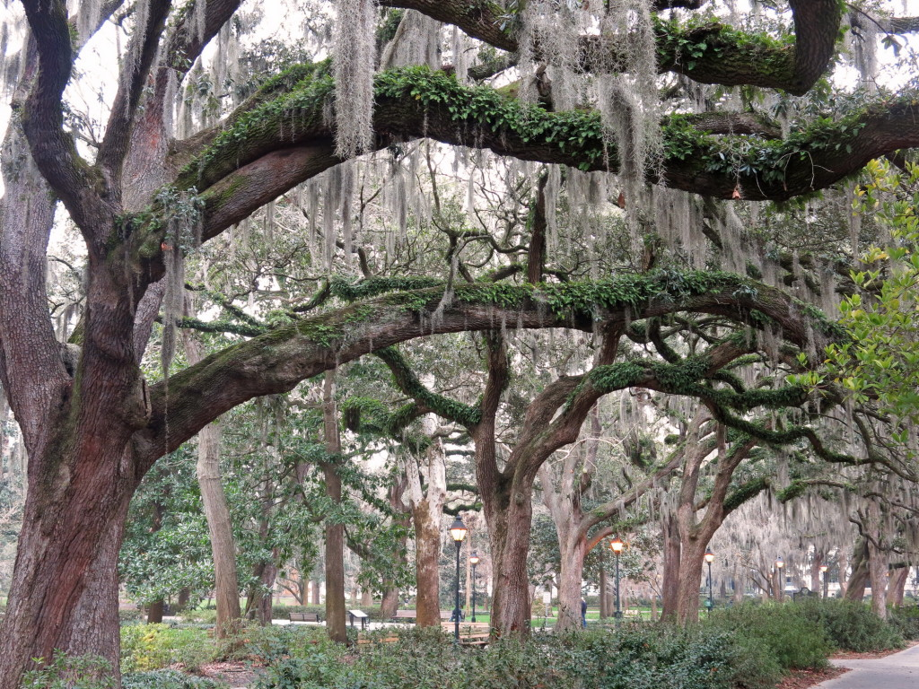 Nearly every tree in Savannah drips with Spanish Moss.