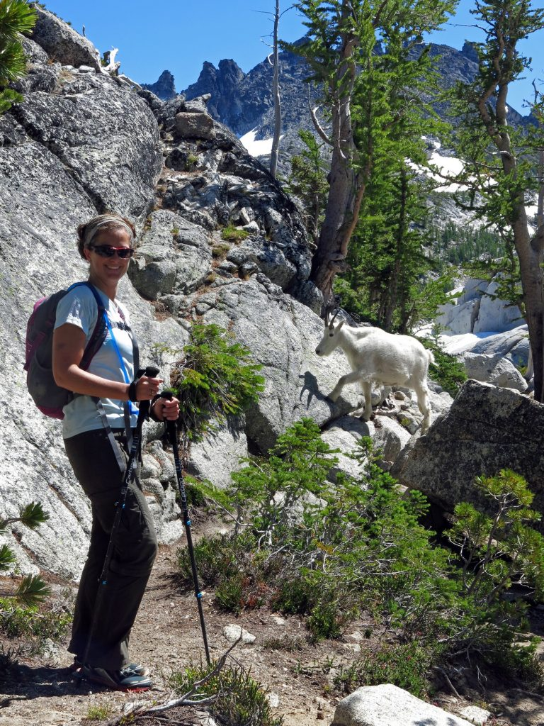 mountain goat follows hiker